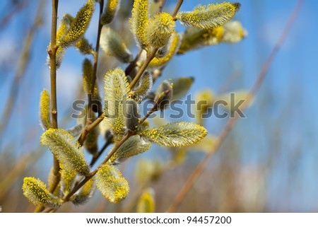 Willow branches with buds in spring - stock photo