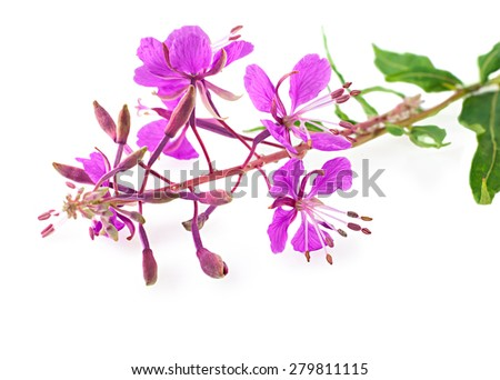Willow-herb close up, isolated on white background. Medicinal plant. - stock photo