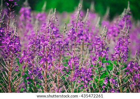 Willow-herb meadow Chamerion Angustifolium Fireweed Rosebay Willowherb