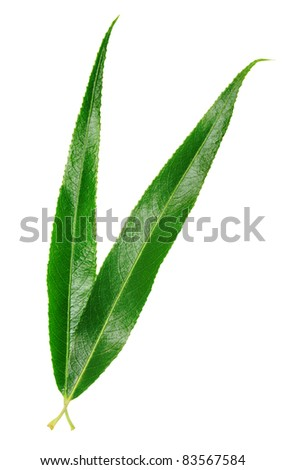 willow leaves isolated on white - stock photo
