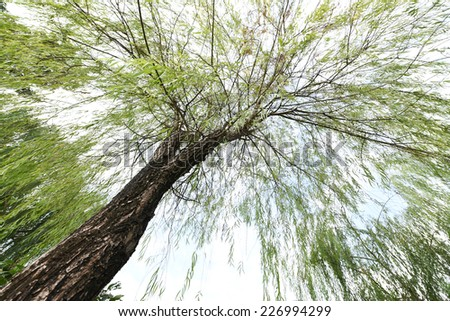 Willow. Natural green wooden sky background. - stock photo