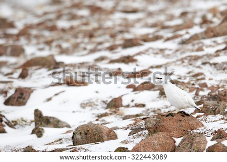 Willow Ptarmigan (Lagopus lagopus) in snow, Cairngorms National Park, Scotland, United Kingdom