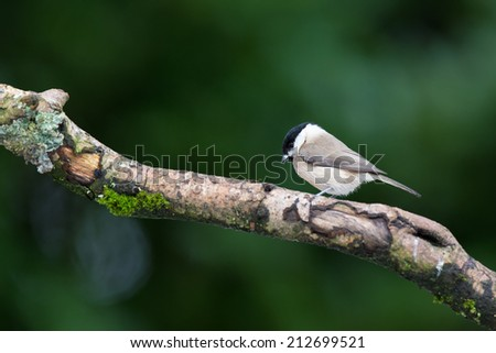 Willow tit on tree