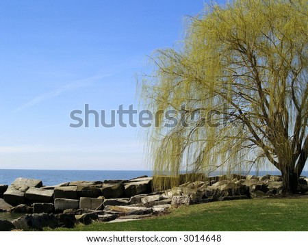 Willow tree budding with spring at the edge of Lake Erie - stock photo