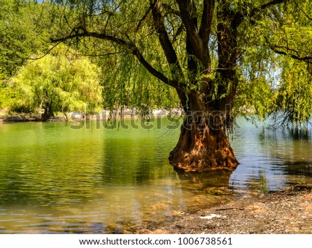 Willow Tree in Water