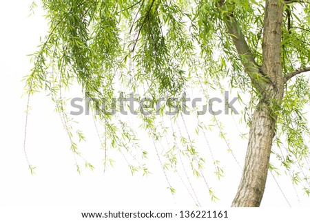 willow tree isolated - stock photo
