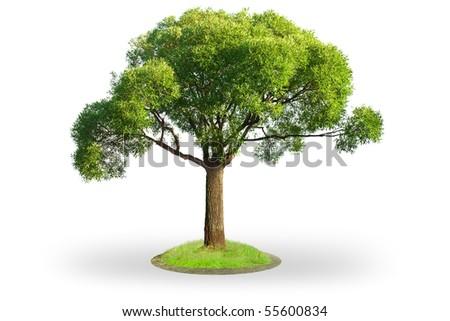 Willow tree (Salix) isolated on white background - stock photo