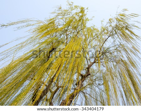 Willow tree with new green leaves - stock photo