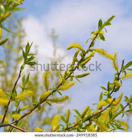 willow twigs on blue sky background - stock photo