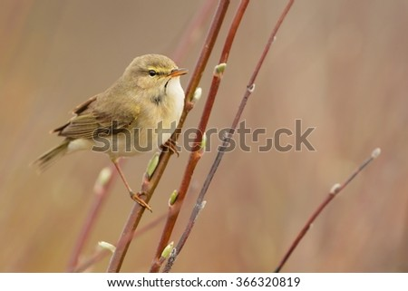 Willow Warbler sitting on the willow.