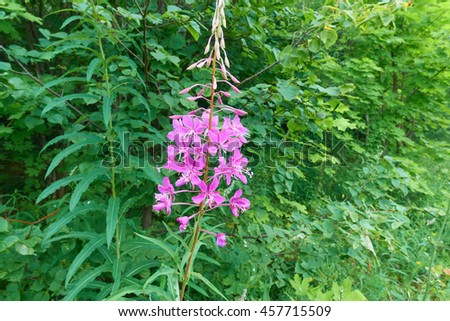 Willowherb - Epilobium Angustifolium. blooming sally (Epilobium angustifolium). Purple Alpine Fireweed. epilobium flowerÃ?? rosy blooming sally on the green grass background - stock photo