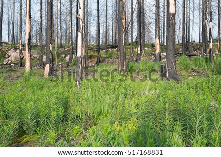 Willowherb plants in front of burnt forest after a big forest fire in sweden