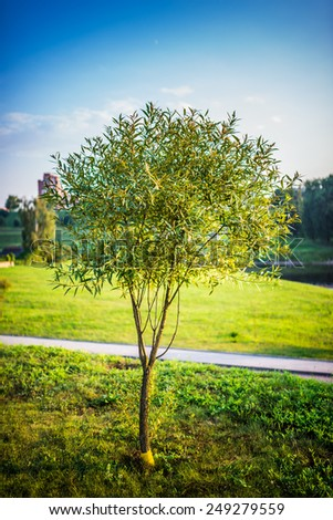 Willows, sallows, and osiers form the genus Salix, around 400 species of deciduous trees and shrubs, found primarily on moist soils in cold and temperate regions of the Northern Hemisphere. - stock photo