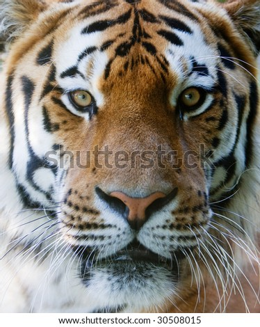 Wilt tiger with yellow and black stripes staring with penetrating eyes