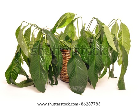 Wilted houseplant in need of water - stock photo