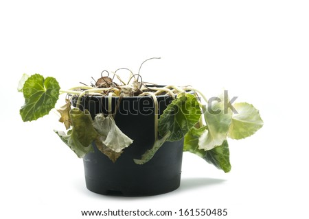 wilted pot plant isolated on white background