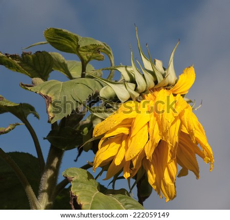 Wilting Sunflower at the end of growing season. - stock photo
