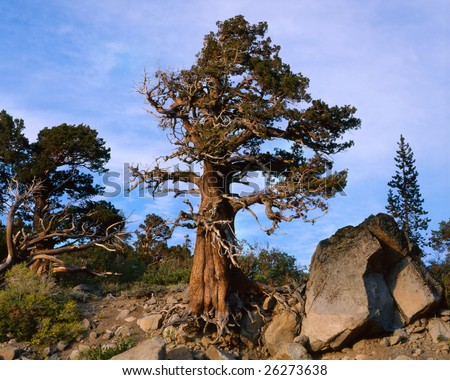 Wind Blown Sequoia Tree, Carson Pass, California