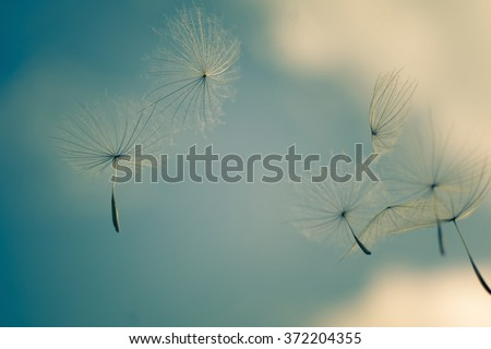 wind blows dandelion seeds in the blue sky, soft focus - stock photo