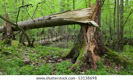 Wind broken spruce in foreground and second one in background in water lying. Springtime natural mixed stand of Bialowieza Forest - stock photo