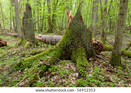 Wind broken spruces in foreground and trunk in background lying. Springtime natural mixed stand of Bialowieza Forest - stock photo