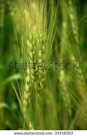 wind in the green wheatfield at middle summer - stock photo