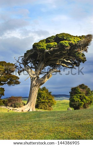 wind swept tree on the south Island of New Zealand