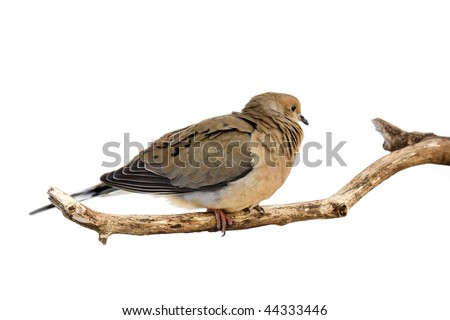 windblown mourning dove tries to stay warm; white background - stock photo