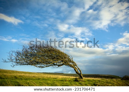 Windblown tree  - stock photo