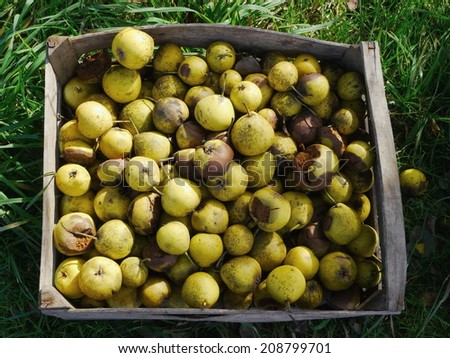 Windfall Apples in Old wooden boxes - stock photo