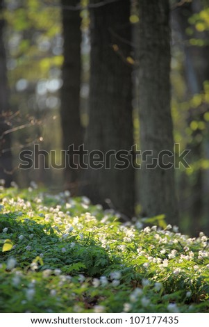 windflower, anemone Forest in the springtime - stock photo