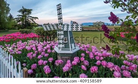Windmill among beautiful tulips. Beautiful tulips in the spring. Variety of spring flowers blooming in beautiful garden. Landscape design - the flower beds of tulips. - stock photo