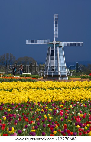 Windmill in a tulip field, spring