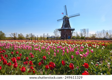 Windmill in Holland Michigan - An authentic wooden windmill from the Netherlands rises behind a field of tulips in Holland Michigan at Springtime. - stock photo
