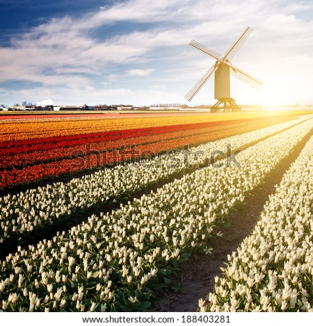 Windmill on field of tulips in Netherlands - stock photo