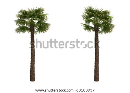 Windmill palms or Chinese Windmill palms isolated on white