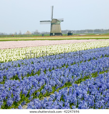 windmill with hyacinth field near Sint-Maartens-vlotbrug, Netherlands