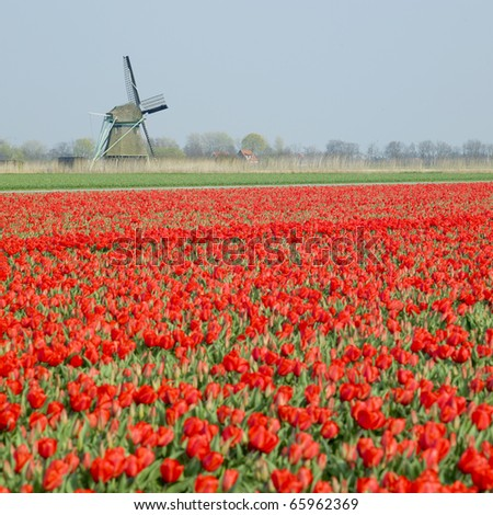 windmill with tulip field near Ooster Egalementsloot canal, Netherlands - stock photo