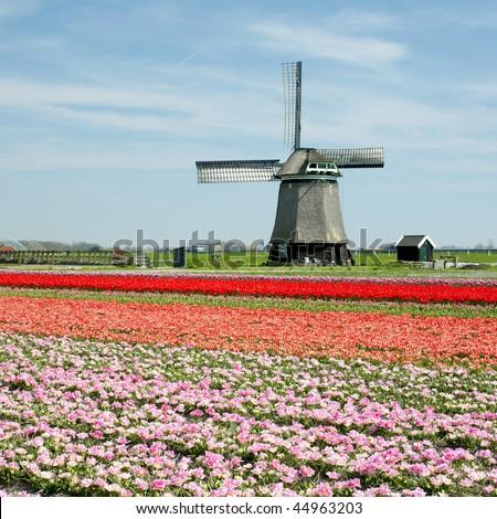 windmill with tulip field near Sint-Maartens-Vlotbrug, Netherlands - stock photo