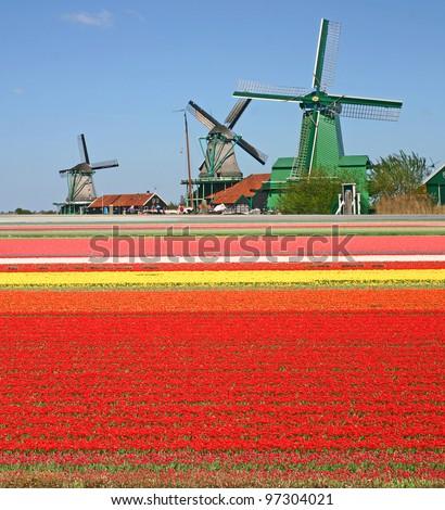 Windmills and tulip field - stock photo