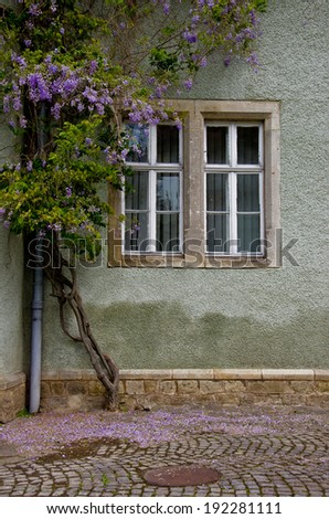 Window in the old style wrapped up by blooming wisteria - stock photo