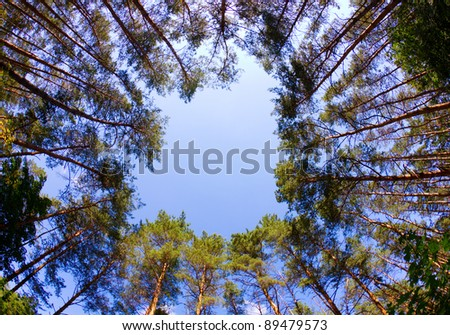 Window of firs, looking up, shot with fisheye lens - stock photo