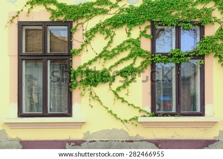 Windows on the Wall Which is Covered With Ivy - stock photo