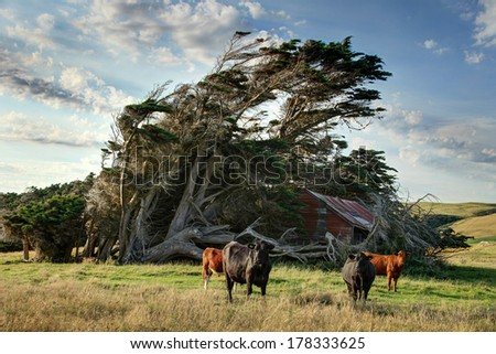 Windswept Tree with bulls - stock photo