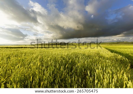 Windy summer evening on the farmland - stock photo