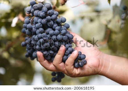 Wine grape manually quality control in vineyard - stock photo