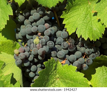 Wine grapes at Sonoma Valley, California - stock photo
