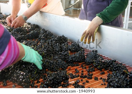 Wine grapes being sorted on their way to be crushed - stock photo