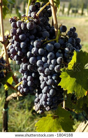 Wine Grapes Growing On A Vine In Tuscany, Italy - stock photo