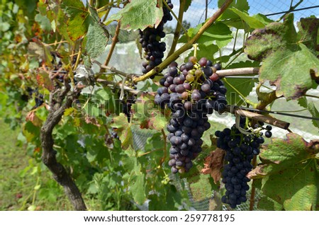 Wine grapes in a vineyard.Winemaking vineyard winery - stock photo